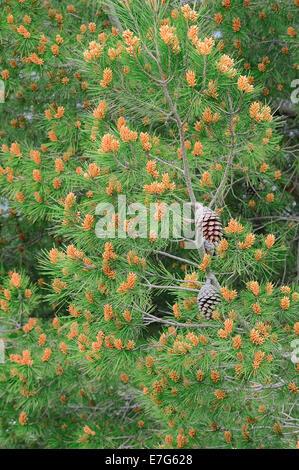 European Black Pine (Pinus nigra), Provence, Southern France, France - Stock Photo