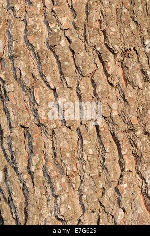 European Black Pine (Pinus nigra), bark, Provence, Southern France, France - Stock Photo