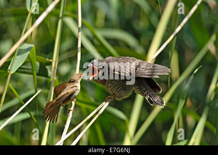 Cuckoo (Cuculus canorus) young bird being fed by the host bird, a Reed Warbler (Acrocephalus scirpaceus), Kühnauer - Stock Photo