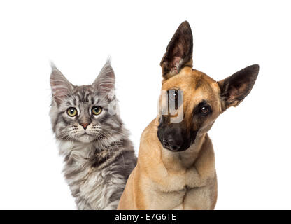 Close-up of a Belgian Shepherd Dog and a cat against white background - Stock Photo