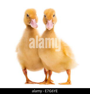Two Ducklings (7 days old) in front of white background