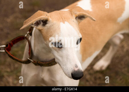Whippet wearing martingale collar staring down - Stock Photo