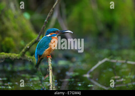 Common kingfisher / Eurasian kingfisher (Alcedo atthis) perched on branch with caught fish in beak - Stock Photo