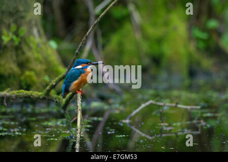 Common kingfisher / Eurasian kingfisher (Alcedo atthis) perched on branch and on the lookout for fish in pond - Stock Photo