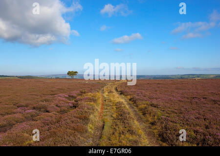 Rugged moorland farm track with a lone pine tree and a scenic backdrop on the North York moors in Autumn - Stock Photo