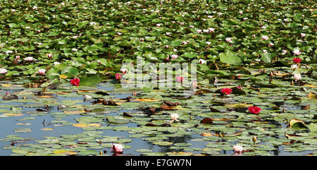 Multitude of Colourful Water Lilies and floating on a Tranquil Pond - Stock Photo