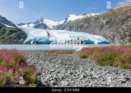 Dwarf Fireweed lines the shore of Portage Lake with Portage Glacier in the background in the Chugach National Forest - Stock Photo