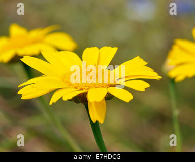 Corn Marigold - Chrysanthemum segetum Stock Photo