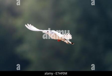 Adult dove - Stock Photo