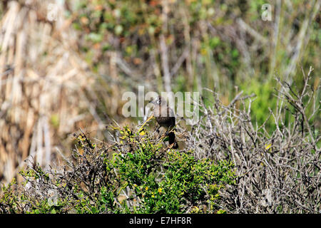 A Cape bulbul (Pycnonotus capensis) in the West Coast National Park near Langebaan, South Africa. - Stock Photo