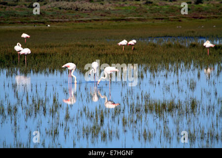 Lesser flamingos  (Phoenicopterus minor) in the West Coast National Park, Langebaan, Western Province, South Africa. - Stock Photo