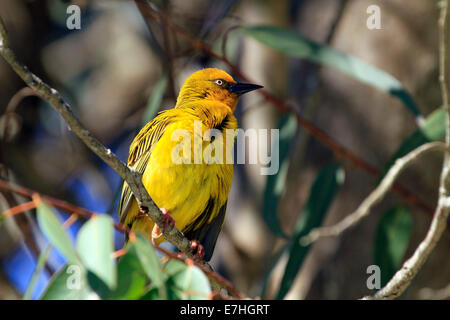 A male Cape Weaver (Ploceus capensis)  in the West Coast National Park in Langebaan, Western province, South Africa. - Stock Photo