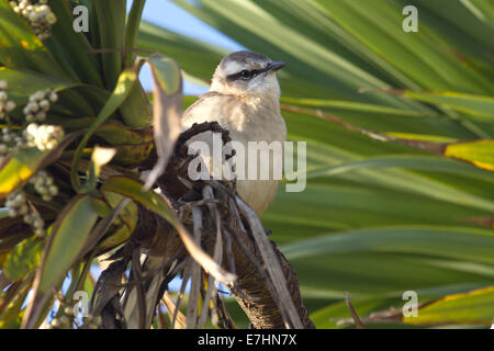 Chalk-browed Mockingbird sitting among the green branches - Stock Photo