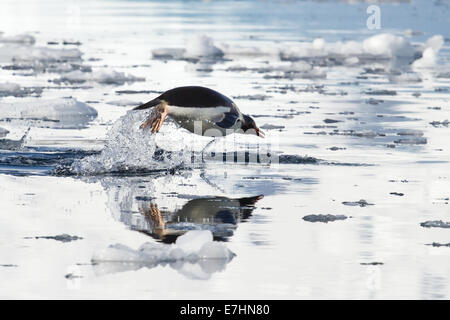Gentoo penguin leaping above the water and its reflection - Stock Photo