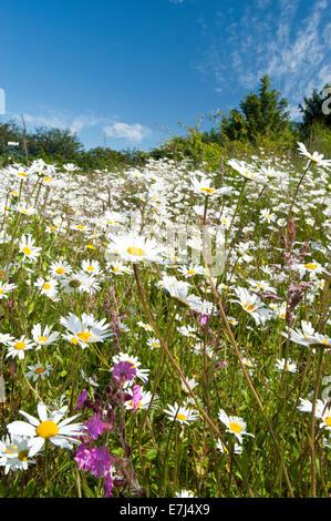Oxeye Daisy Wildflower Meadow, Near Alvanley, Cheshire, England, UK - Stock Photo