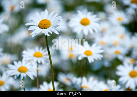 Oxeye Daisy (Leucanthemum vulgare)  Meadow, Near Alvanley, Cheshire, England, UK - Stock Photo