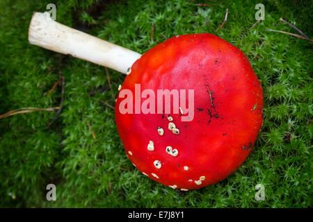 Amanita muscaria, poison mushroom on the moss - Stock Photo
