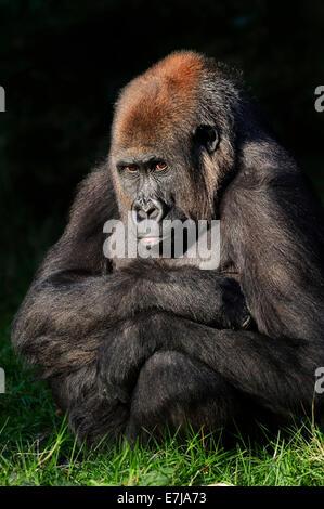 Western Lowland Gorilla (Gorilla gorilla gorilla), female, native to Africa, captive, Germany - Stock Photo