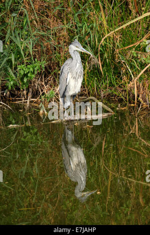 Heron at side of canal - Stock Photo