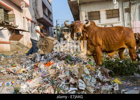 Cattle foraging in a heap of garbage, Bhavnagar, Gujarat, India - Stock Photo
