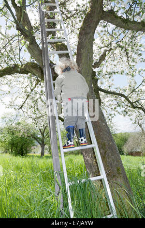 Boy, 3, climbing up a ladder to a blossoming fruit tree - Stock Photo