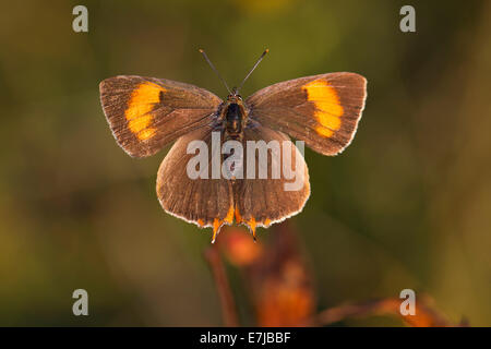 Brown Hairstreak (Thecla betulae), female, Thuringia, Thuringian Forest, Germany - Stock Photo