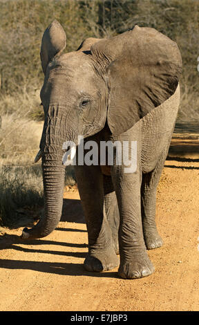 Bad-tempered adolescent African Elephant (Loxodonta africana) with flapping ears, Madikwe Game Reserve, South Africa - Stock Photo