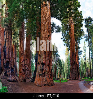 Giant sequoia (Sequoiadendron giganteum), in front a visitor, Giant Forest, Sequoia National Park, California, United - Stock Photo