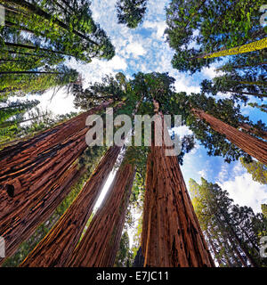 Giant sequoia trees (Sequoiadendron giganteum), frog perspective, the Giant Forest, Sequoia National Park, California - Stock Photo