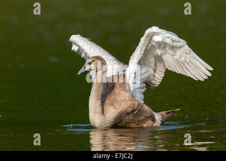 Young Mute Swan (Cygnus olor) spreading wings - Stock Photo