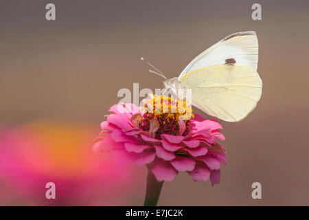 Large White butterfly (Pieris brassicae) on Common Zinnia (Zinnia elegans) - Stock Photo
