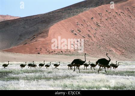 Africa, Old, young, dune, desert, Namib, Namibia, sand, Sossusvlei, Strauss, Struthio camelus, birds, scenery, landscape, - Stock Photo