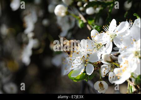blossoms, spring, tree blossom, tender blossoms, sprout, Fruit blossoms, Petals, Tree blossoms, western Honeybee, - Stock Photo