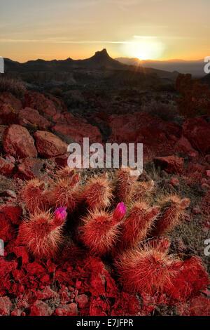 USA, United States, America, Arizona, Route 66, Oatman, Sitgrave Pass, desert, vertical, cactus, cacti, bloom, nature, - Stock Photo