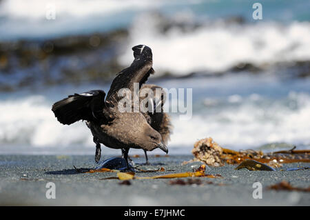 Brown Skua (Stercorarius antarcticus) fighting on beach with ocean in background on a sub-antarctic Macquarie island, - Stock Photo