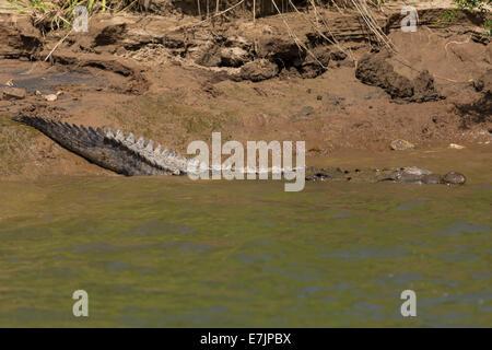 American Crocodile entering Sumidero Cayon, Chiapas, Mexico - Stock Photo