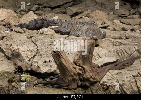 American Crocodile. Sumidero Cayon, Chiapas, Mexico - Stock Photo