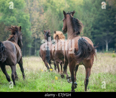 Tennessee Walker horses - Stock Photo