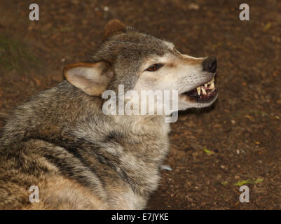 Portrait of a Grey Wolf snarling - Stock Photo