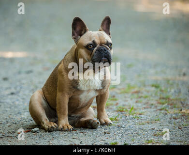 Comical French Bulldog sitting - Stock Photo
