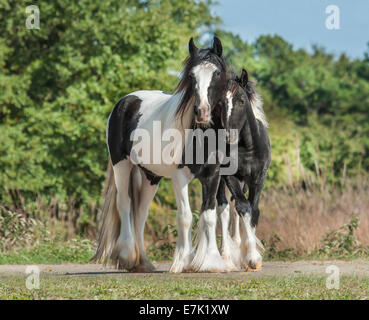 Gypsy Vanner Horse filly with weanling colt - Stock Photo