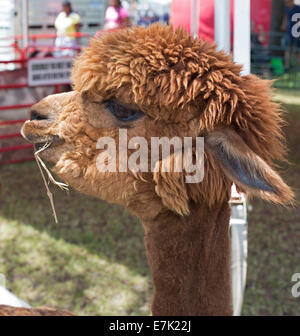 Sterling Heights, Michigan - An alpaca at a petting zoo. - Stock Photo