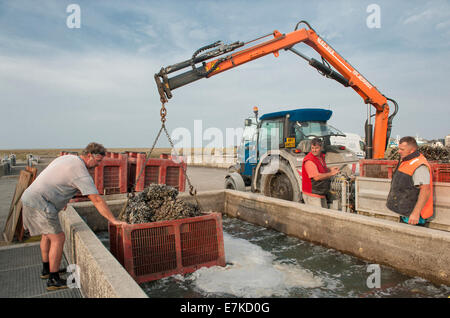 After the ocean harvest, the AOC moules de bouchot are being watered in basins of the co-operative at Le Vivier - Stock Photo