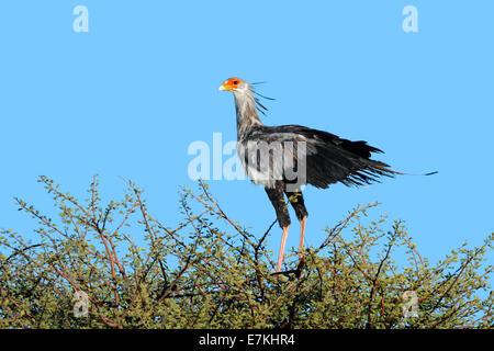 A secretary bird (Sagittarius serpentarius) perched on top of a tree, Kalahari, South Africa - Stock Photo