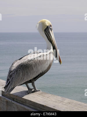 Pelican standing on a pier railing overlooking the Atlantic Ocean at Cocoa Beach, Florida USA - Stock Photo