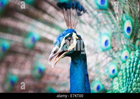 An Indian peacock (Pavo cristatus) at KL Bird Park in Kuala Lumpur, Malaysia. - Stock Photo