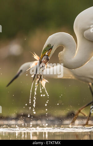 Great Egret (Ardea alba) catching two fish, Little Egret (Egretta garzetta) in background - Stock Photo