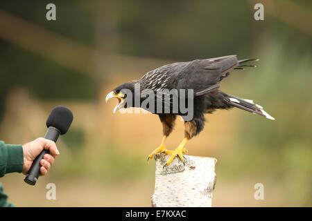 A Caracara calling into a microphone - Stock Photo