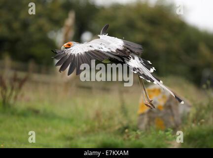 A Secretary bird in flight - Stock Photo