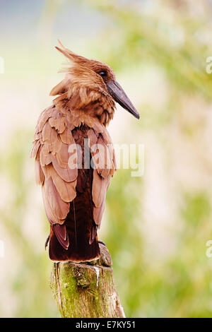 Hamerkop in a forest perched in a tree - Stock Photo